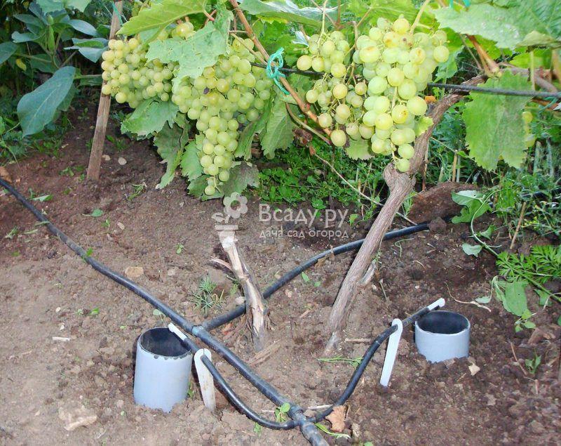 удобрения под виноград